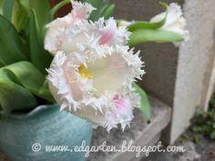 Wunderschöne gefranste Tulpen Friday, Plants, Daffodils, Natural Garden, Shade Perennials, Tulips, Hobbies, Nice Asses, Life