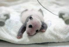 Veterinarians Care Panda At The Wolong Giant Panda Bear Research Center - China Photos/Getty Images