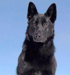 a black german shepherd, male