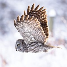 Great Grey Owl Grey Ghost Nature Photography