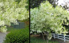 "The Grancy Greybeard, also known as the ""White Fringe Tree,"" is an eye-catching North American native and a wonderful, hardy and long-lived addition to any landscape."