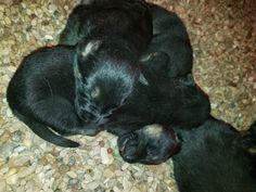 Newborn AKC German Shepherd  puppies, at the VHR Ranch in Paige Tx