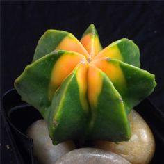 Astrophytum myriostigma KIKKOU variegate -with rootstock- rare cactus cacti 0573 | Home & Garden, Yard, Garden & Outdoor Living, Plants, Seeds & Bulbs | eBay!