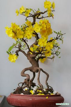 he word bonsai is most closely associated by most with the growing of miniature trees, and although this is somewhat accurate, there is a lot more to it than that. A bonsai is not a genetically overshadowed plant Ikebana, Bonsai Tree Types, Indoor Bonsai Tree, Plantas Bonsai, Flower Seeds, Flower Pots, Flowers Garden, Wood Sorrel, Cactus