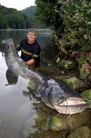 Peces gato gigantes se convierten en caníbales en ríos alemanes - Giant catfish empty rivers, turn cannibal