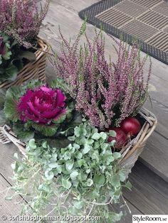 Lovely arrangement for fall, with onions, dichondra, cabbage and heather.