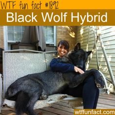 "Black Wolf Hybrid -That's one ""Big Bad (@$$) Wolf,""  ~WTF!?! big, weird and fun facts"