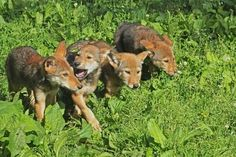 Updated November 2017 After disappearing from the wild and being carefully reintroduced and conserved, only about 40 endangered red wolves live in the wild in the entire world. Beautiful Wolves, Most Beautiful Animals, Beautiful Creatures, Wolf Life, Wolf Stuff, Wolf Pup, Wild Wolf, Wolf Spirit, Nature Center