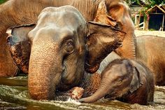 This family lives at the Elephant Nature Park in the jungles of northern Thailand. The park's mission is to rescue these beautiful creatures from circuses, trekking companies, and logging operations that abuse them for profit. Here Sri Prae gives swimming lessons to little baby Navann who is only 5 months old.