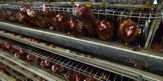 Las gallinas saben contar   Un estudio destacó que estos animales también tienen conciencia de sí mismos  Por mucho tiempo se ha creído que las gallinas de corral no son muy inteligentes y no tienen tantas habilidades como el resto de las aves.  Incluso culturalmente se han burlado de su comportamiento al considerarlas 'huecas'.  Sin embargo un reciente estudio publicado en la revista Animal Cognition de la investigadora Lori Marino -que se ha destacado internacionalmente por sus estudios…