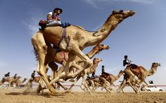 Camel Festival kicks off in Abu Dhabi  Jockeys participate in a traditional camel race during the annual Sheikh Sultan Bin Zayed al-Nahyan Camel Festival, at the Shweihan racecourse, in the outskirts of Abu Dhabi, United Arab Emirates on February 10.  The Sheikh Sultan Bin Zayed al-Nahyan Camel Festival is one of the most important trade events.  The event includes camel auctions, as well as competitions for traditional handicrafts in the Middle East gulf region.