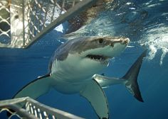 Shark Cage Diving in Port Lincoln, South Australia