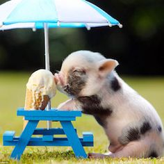 Teacup pigs for sale in New York. If you are looking to adopt one of the worlds smallest teacup pigs you have came to the right place Cute Baby Pigs, Cute Babies, Baby Piglets, Teacup Piglets, Cute Little Animals, Cute Funny Animals, Little Pigs, Humorous Animals, Super Cute Animals