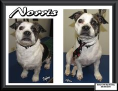 This Little Man is Norris! He came to get all cleaned up for the New Year! Little Dogs, Little Man, Wire Haired Terrier, Small Breed, Dog Grooming, Your Dog, Pitbulls, Animals, Dogs