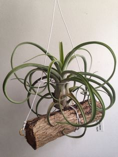 El Guapo (Streptophylla x Caput Medusae)