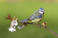 Blue Tit ( L: Cyanistes caeruleus / N: Blåmeis )