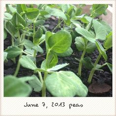 Peas will be getting something to hang on to really soon
