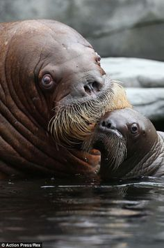 The baby walrus and his mother are pictured playing in the water of their enclosure at the zoo in the district of Stellingen today