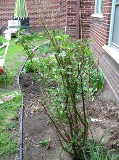 Salvaged rose bush from my sister in law 10 May 2014 (2nd summer in new home, after violent trim back last fall)