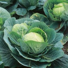 How to Plant, Grow, Harvest and Cabbage Fruits And Vegetables Images, Home Grown Vegetables, Fresh Vegetables, Veggies, Cabbage Plant, Cabbage Vegetable, Vegetable Pictures, Veggie Art, Identify Plant