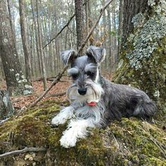 Another gorgeous Schnauzer