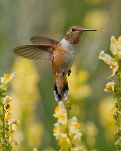Broad-Tailed Hummingbird Photo By Gene Putney Rocky Mountain National Park, Colorado