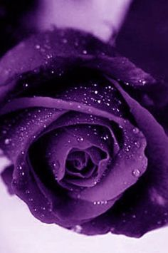 Never seen a purple rose