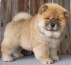 Chow Chows are the best.