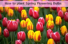 How to plant bulbs in the Fall for Spring Flowers #video