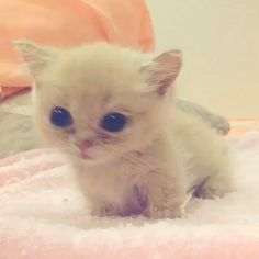 Cute Cats And Kittens, Baby Cats, I Love Cats, Kittens Cutest, Ragdoll Kittens, Bengal Cats, Pretty Cats, Beautiful Cats, Animals Beautiful