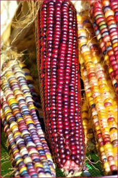 Indian corn is a must-have for fall decorations. I love the variety of bright colors it offers. I also like the fact that it is suitable throughout autumn, not just for Halloween yard decorations: Fruit And Veg, Fruits And Veggies, Rainbow Corn, Glass Gem Corn, Popcorn Seeds, Halloween Yard Decorations, Fall Decorations, Mexican Street Corn, Beautiful Fruits