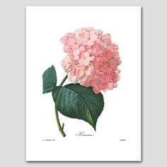 """Hydrangea Art (Pink Flower Room, Redoute Botanical Wall Decor) Summer Garden Print - Unframed. Hydrangea Art, Botanical Wall Print, Pink Flower Home Decor, Summer Garden Artwork -- Unframed Print From a series of 35 French Redoute nature illustrations (Sold individually or in specially priced sets) One """"Hortensia"""" fine art print of an 1820s painting by botanist & artist Pierre Redoute Delicate pink blossoms; white background Frames not included Premium matte paper with archival ink Sizes..."""