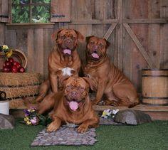 My beautiful French mastiffs. Layla, Hugo and Chomper