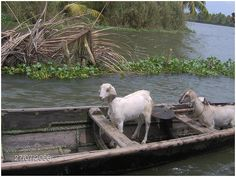 goat in boat watercolor google search how now brown cow