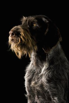 German Wirehaired Pointer Dog Breed Information, Pictures, Characteristics & Facts - Dogtime