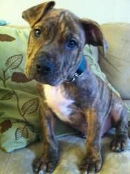 Porter is an adoptable American Staffordshire Terrier Dog in Saint Paul, MN. 8 weeks (2.5.12)  mnpitbull.com...