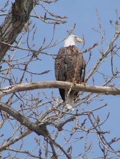 Bald eagle that sat in a tree in front of our house, as if he was posing for us. What a beautiful sight!