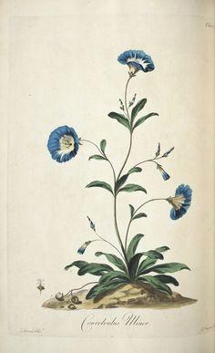 Convolvulus minor (Convolvulus  tricolor) - Edwards, John, b. 1742 / A select collection of  British flowers