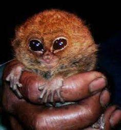 Pygmy Lemur Monkey - Bing Images