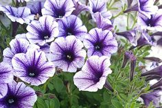Grow these in your garden or plant them in a pot to keep the bugs away.