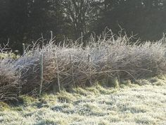 Beautiful frosty dead hedge this morning.