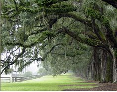 Under the live oaks at Boone Hall Plantation in Mt. Pleasant, SC.