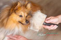 Pet hair is a problem that all owners have to tolerate to some extent, and we need the best dog brushes for shedding to remove the dead hair and solve the Dog Shedding Remedies, Shedding Dogs, Matted Dog Hair, Cute Pomeranian, Education Canine, Best Brushes, Getting A Puppy, Pet Grooming, Dachshunds