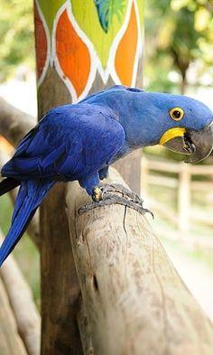 Arara Azul, uma das 72 espécies aladas do Bird Land, um viveiro com 2 mil m² dentro do Hot Park; em Rio Quente, a cerca de 30 minutos de Caldas Novas, estado de Goiás, Brasil.  Fotografia: Guilherme Andrade/UOL