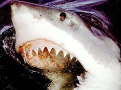 Большая белая акула, фото фотография картинка обои