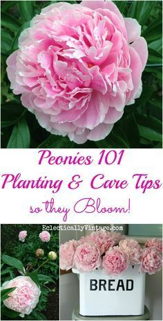 How to Plant Peonies - planting care and tips so your peonies give you tons of gorgeous flowers eclecticallyvinta...