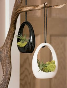 hanging Air Plant pendants