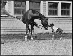 adorable ponies! vintage photograph by Leslie Jones (1886-1967)