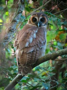 "Asian Brown Wood Owl.  ""Owls"""