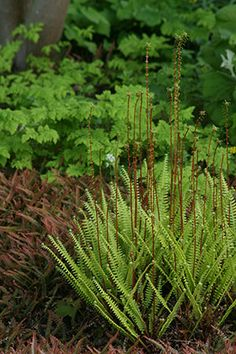 The laciness of Gymnocarpium dryopteris 'Plumosum' makes it an attractive companion for Blechnum spicant and B. penna-marina.